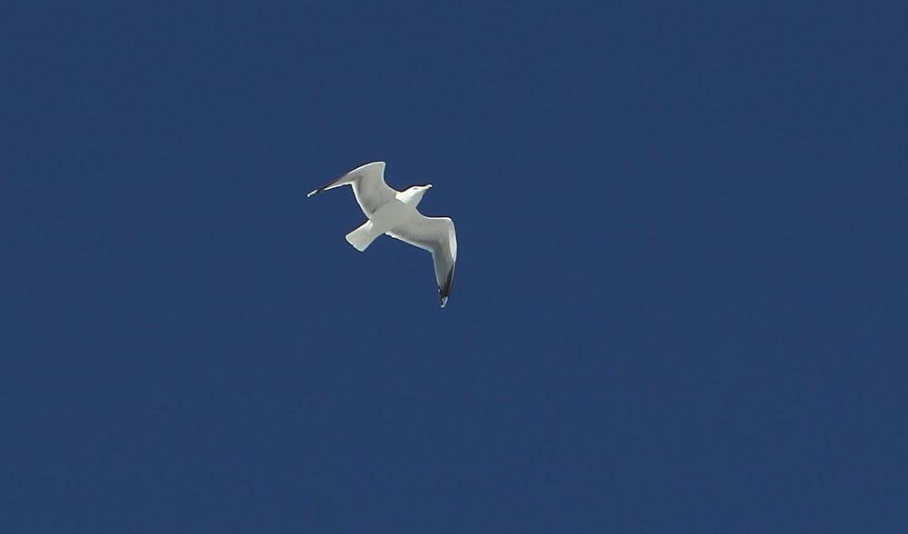 veel vogels